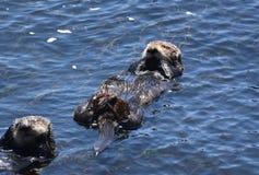 Loutre de mer ayant un casse-croûte sur son dos tout en flottant image libre de droits