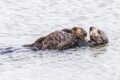 Loutre de mer du sud berçant son chiot - péninsule de Monterey, Califo Images stock