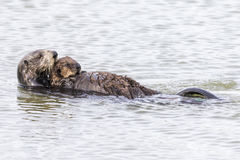 Loutre de mer du sud berçant son chiot - péninsule de Monterey, Califo Photo stock