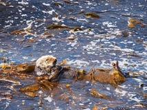 Loutre de mer sur la baie de Monterey Images stock
