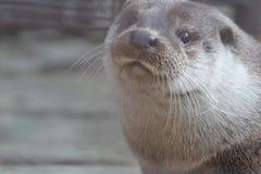 Loutre de rivière au zoo d'Iekaterinbourg photographie stock libre de droits