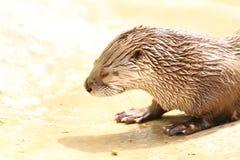 Loutre de rivière au zoo du Dakota Image libre de droits