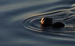 Loutre de rivière de Neotropical, Esteros de Iberaa, Argentine Image stock