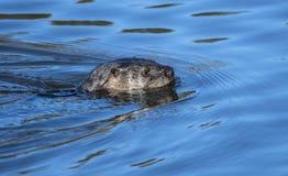Loutre de rivière nageant la Géorgie images libres de droits