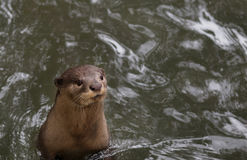 LOUTRE DE SMALL-CLAW Images libres de droits
