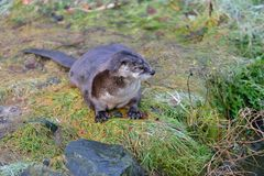 Loutre eurasienne, Allemagne Photographie stock