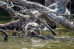 Loutre géante mangeant dans la jungle péruvienne d'Amazone chez Madre de Dio photographie stock libre de droits