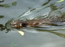 Loutre Lontra Canadensis Photos libres de droits
