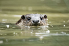 Loutre, lutra de Lutra Photo stock