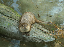 Loutre sur un logarithme naturel photo libre de droits