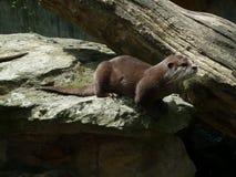 Loutre vivante dans le zoo photos libres de droits