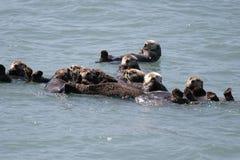 Loutres de mer dans le groupe de radeau Photographie stock