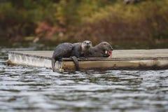 Loutres de rivière nord-américaines sur un dock Image stock