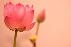 Lotus flower. The louts of sumer ,three style Royalty Free Stock Photos