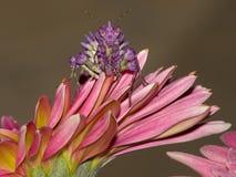 Louva-a-deus na flor fotografia de stock