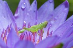 Louva-a-deus na flor de lótus fotografia de stock royalty free