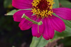 Louva-a-deus na flor roxa no jardim fotos de stock royalty free