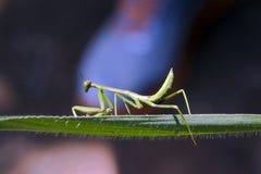 Louva-a-deus na posição da caça sobre a folha verde Foto de Stock