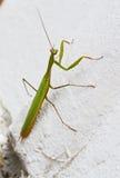 Louva-a-deus verde do inseto que senta-se em uma rocha verão Fotografia de Stock