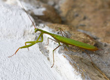 Louva-a-deus verde do inseto que senta-se em uma rocha verão Imagens de Stock
