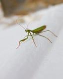 Louva-a-deus verde do inseto que senta-se em uma rocha verão Fotos de Stock Royalty Free