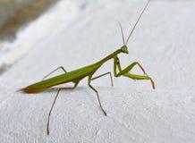 Louva-a-deus verde do inseto que senta-se em uma rocha verão Foto de Stock Royalty Free