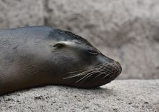 Lovable Close Up of a Shiny Sea Lion. Lovable Image of a Sea Lion on a Rock Royalty Free Stock Photography