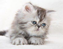 Lovable fluffy kitten Stock Photo