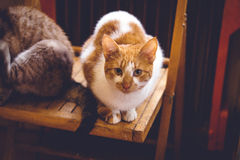 Lovable ginger cat  at home Stock Images