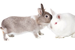 Lovable little rabbit companions. Isolated on white with a grey cottontail standing on its feet snuggling its little white friend, Easter bunny conceptual Stock Image