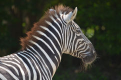Lovable Profile of a Zebra with Bold Markings Royalty Free Stock Image