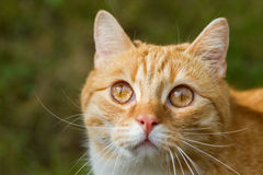 Lovable red tiger cat. Red tiger cat lurking in the grass Stock Photography