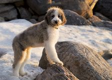 Man`s Best Friend. A Saint Berdoodle Puppy royalty free stock photography