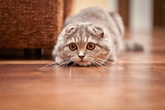 Lovable Scottish fold cat Stock Photography