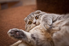 Lovable Scottish fold cat Royalty Free Stock Image