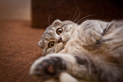 Lovable Scottish fold cat Stock Image