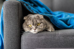 Lovable Scottish fold cat Royalty Free Stock Photo