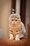 Lovable Scottish fold cat Stock Photo