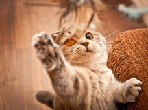 Lovable Scottish fold cat Stock Images