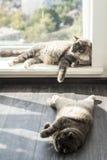 Lovable Scottish fold cat. Lovable and funny Scottish fold cat Stock Photo