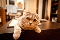 Lovable Scottish fold cat Stock Photos