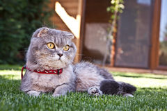 Lovable Scottish fold cat Royalty Free Stock Photography
