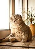 Lovable Scottish fold cat Stock Images