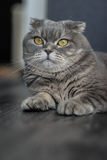 Lovable Scottish fold cat Royalty Free Stock Images
