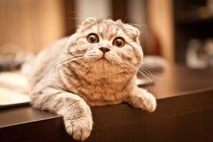 Lovable Scottish fold cat Royalty Free Stock Image
