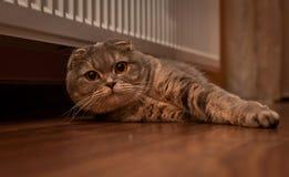 Lovable Scottish fold cat Stock Image
