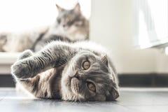 Lovable Scottish fold cat Royalty Free Stock Photography