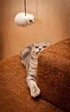 Lovable Scottish fold cat Royalty Free Stock Photo