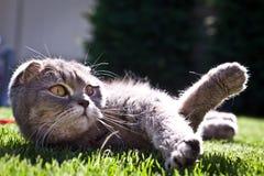 Lovable Scottish fold cat Royalty Free Stock Photos