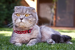 Lovable Scottish fold cat Stock Photography
